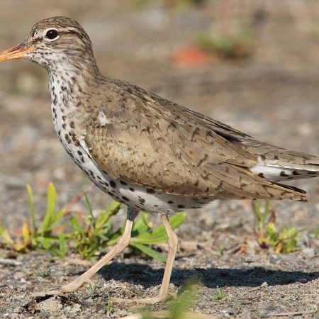 Spotted_sandpiper