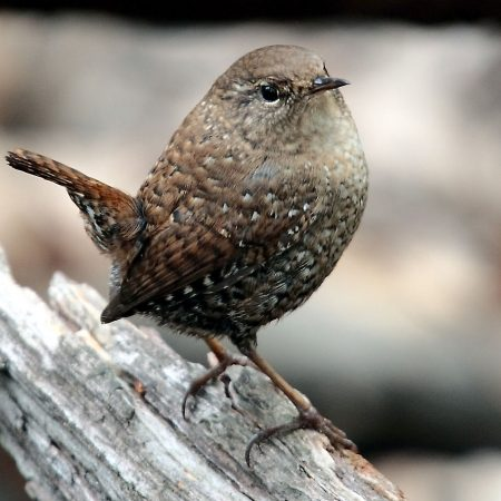 Winter_wren