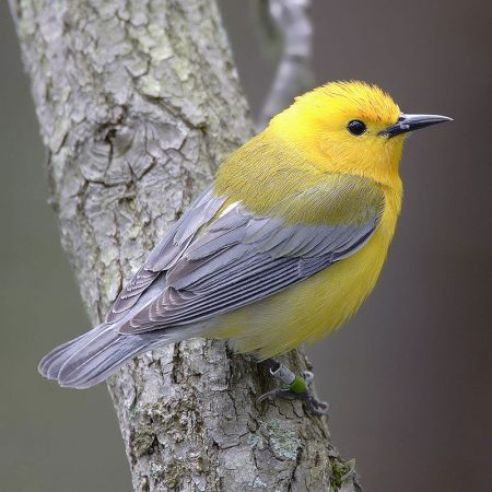 Prothonotary_warbler