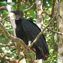 Black_Vulture,_Costa_Rica