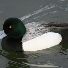 Greater-scaup-male2